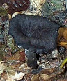 trompette de la mort ou craterellus cornucopioides